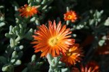 21_orangeflowers